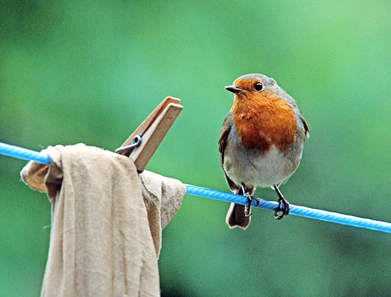 Robin (Erithacus rubicula) looking for a hand-out from the kitchen