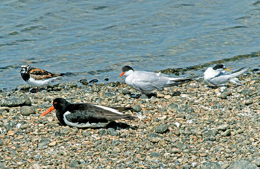 Medley of birds at Rye Harbour