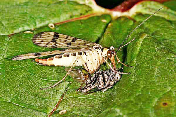 Female Scorpion Fly (Panorpa communis) scavenging the Yellow Dung fly's discard