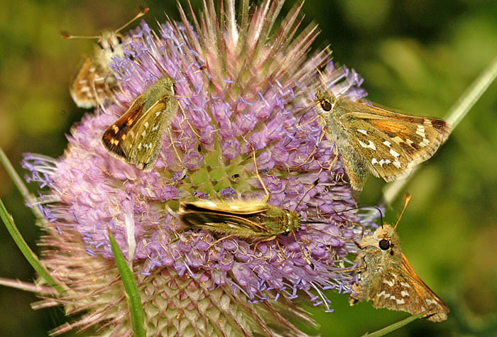 Silver-spotted Skippers (Hesperia comma) taking nectar from Teasel
