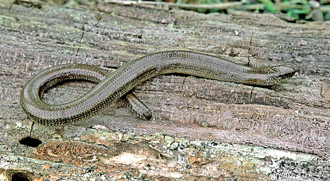 The Slow-worm (Anguis fragilis) is a legless lizard