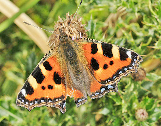 The Small Tortoiseshell (Aglais urticae) is undergoing a serious decline
