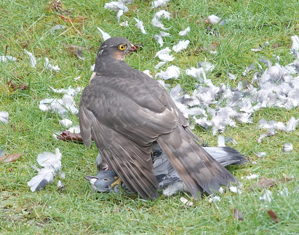 Female Sparrowhawk (Accipiter nisus) with feral pigeon as prey in garden