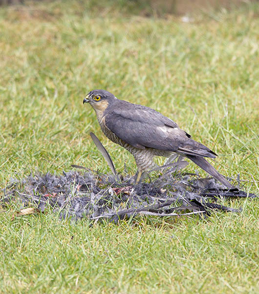Male Sparrowhawk (Accipiter nisus)