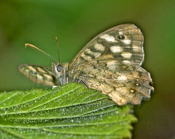 The Speckled Wood (Pararge aegeria) can be seen in dappled light on woodland margins