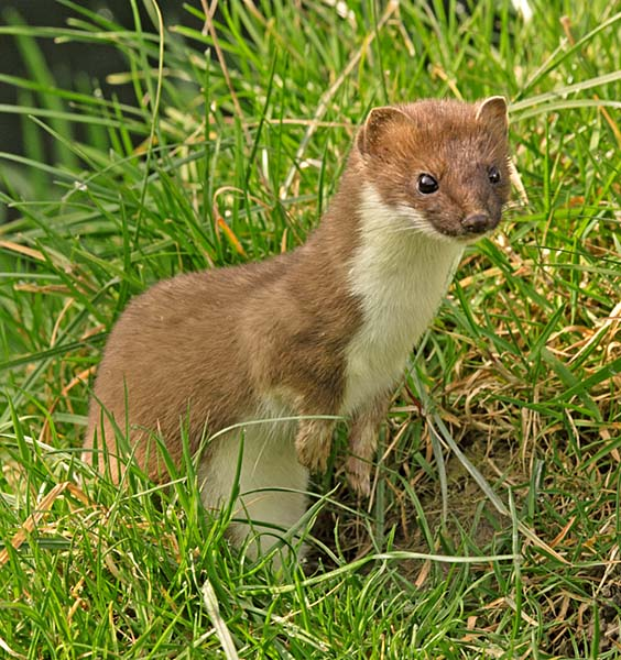 The Stoat (Mustela erminea) is a highly efficient predator