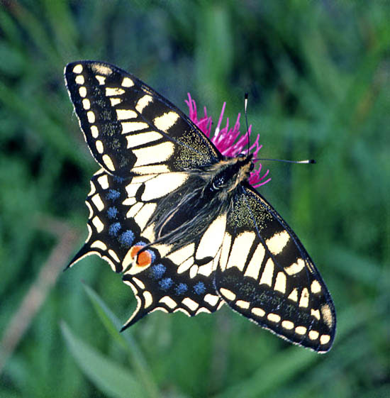 Swallowtails (Papilio machaon) are very restricted in range