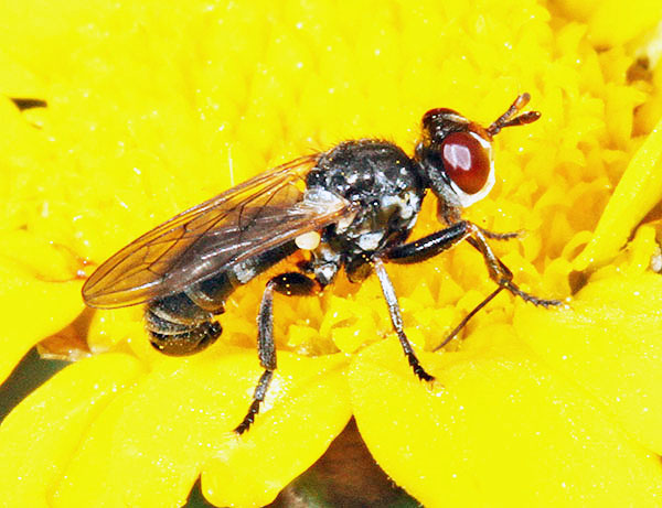 The conopid fly Thecophora atra targets solitary bees