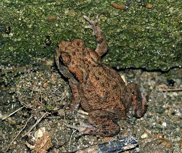 Immature Common Toad (Bufo bufo) on patio