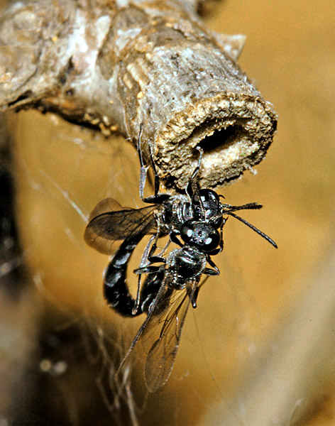 A pair of Trypoxylon attenuatum wasps fighting at a burrow entrance