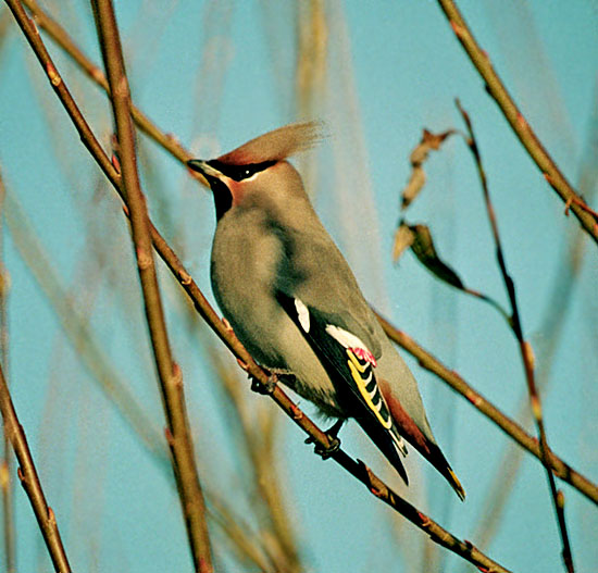 A Waxwing (Bombycilla garrulus) showing off its splendid plumage in Norfolk