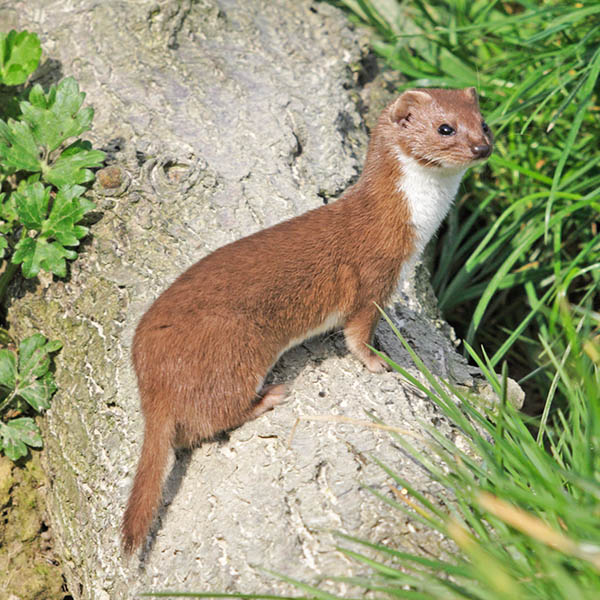 The Weasel (Mustela nivalis) is much slimmer than the Stoat