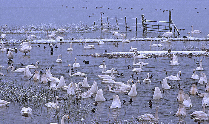 Whooper Swans (Cygnus cygnus) coping with snow at Welney