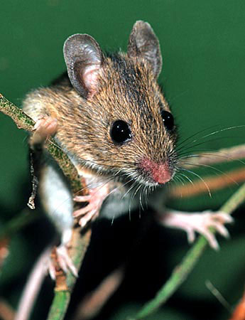 Wood Mouse (Apodemus sylvaticus), a major prey species