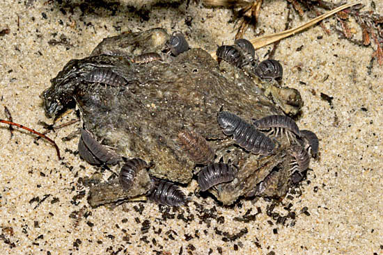 Woodlice extracting minerals from a dead Common Toad