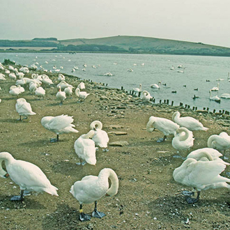 Some of the hundreds of Mute Swans which live colonially at Abbotsbury in Dorset