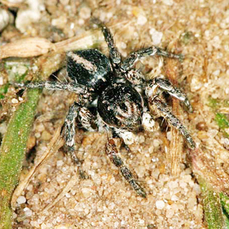 Jumping spider (Aelurillus v-insignitus), commonest near the south coast