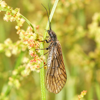The Alder Fly (Sialis lutaria) is a weak flier related to Lacewings
