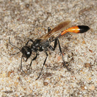 With up to ten nests created by an Ammophila pubescens, and the necessity for opening and re-filling each one several times, the physical effort involved is remarkable