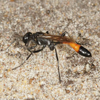 Once the pebbles are inside, the Ammophila pubescens uses her legs to scrape sand over the top very rapidly