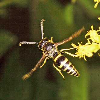 Male Ancistrocerus nigricornis are usually seen in late summer