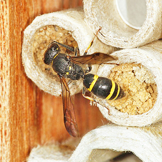 Female Ancistrocerus trifasciatus sealing one of four nests she completed