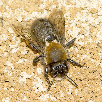 Andrena bicolor has two broods