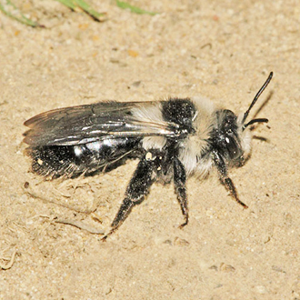 Andrena cineraria, a handsome species