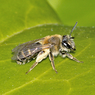 Female Andrena dorsata with pollen