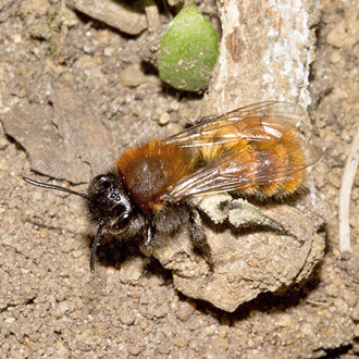 The brightest of them all - a female Andrena fulva mining bee with pollen