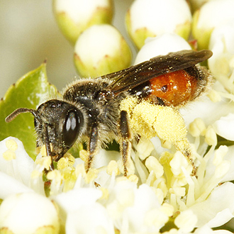 Andrena labiata is a nationally scarce mining bee but they take pollen from quite a few garden plants including Pyracantha