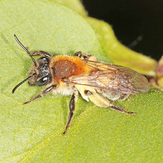 Female Andrena synadelpha, seen from March to June