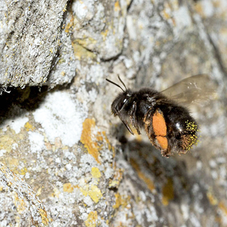 Anthophora plumipes is a large species that sometimes approaches its nest, often in building walls, at a relatively slow speed