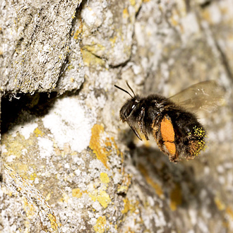 Pollen-laden Anthophora plumipes heading for her nest in a Cotswold wall