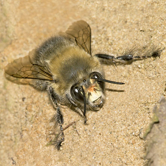 The male Anthophora plumipes could almost be a different species from the female