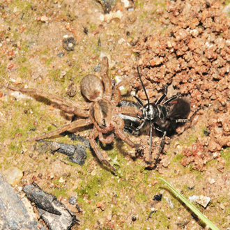 Arachnospila trivialis hauling prey into her burrow, built on a site where bonfires are burned