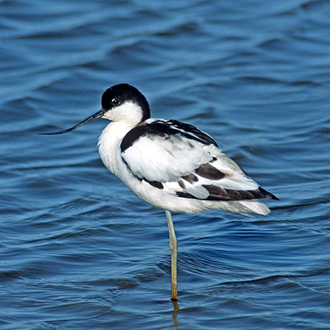 Avocet (Recurvirostra avosetta) taking a temporary rest