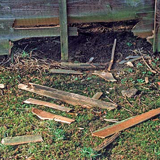 Flimsy fences are no match for the Badger's strength and determination