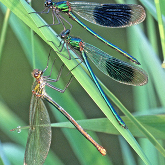 One female and two male Banded Agrions (Calopteryx splendens)