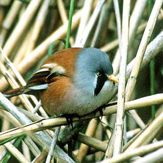 Bearded Tit (Panurus biarmicus), which is neither bearded nor a tit