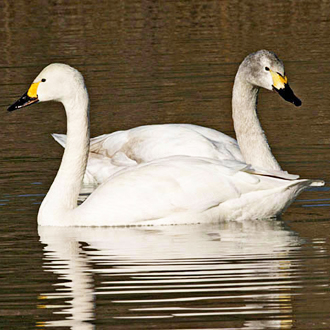 Bewick's Swans (Cygnus columbianus) travel as family units from Russia