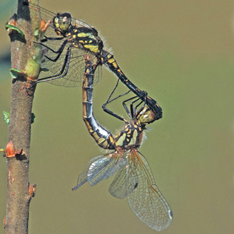 Black Darters (Sympetrum danae) mating