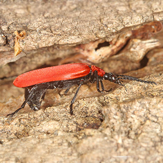 Black-headed Cardinal Beetle (Pyrochroa coccinea) laying eggs in grey poplar