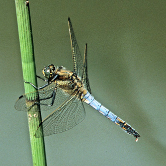 Black-tailed Skimmer male (Orthetrum cancellatum) perching