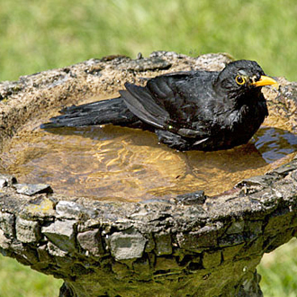 Blackbirds are among the most regular users of birdbaths to keep their plumage up to scratch