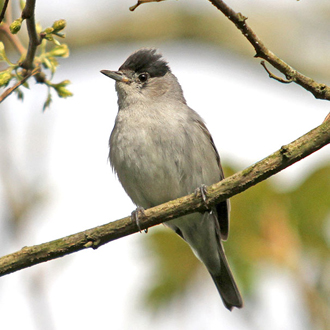 A male Blackcap (Sylvia atricapilla), another fine songster