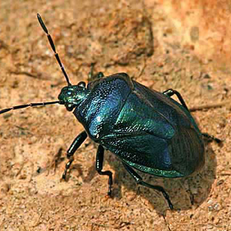 The Blue Shieldbug (Zicrona caerulea) is only 7mm in length