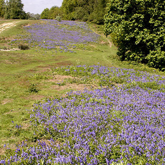 A raft of Bluebells (Hyacinthoides non-scriptus)