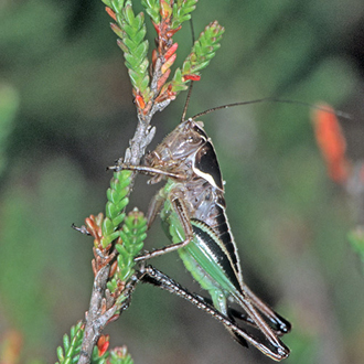 Bog Bush-cricket female (Metrioptera brachyptera) on Heather