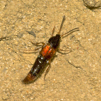 Bolitobius cingulatus is a Rove beetle found in lowland heathland